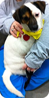 Jack Russell Terrier Mix Dog for adoption in Loudonville, New York - Gibby