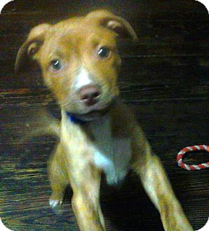 Shepherd (Unknown Type)/Retriever (Unknown Type) Mix Puppy for adoption in Troy, Michigan - Norton