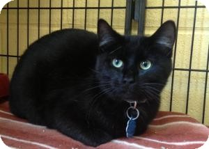 Domestic Shorthair Cat for adoption in Sparta, New Jersey - Marco