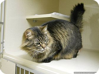Domestic Longhair Cat for adoption in Morden, Manitoba - Meeka