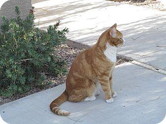 Domestic Shorthair Cat for adoption in Phoenix, Arizona - Rusty