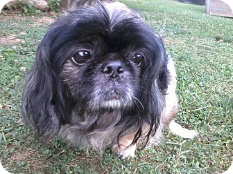 Pekingese Dog for adoption in Greensboro, Maryland - Momo