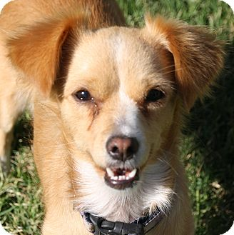 Sheltie, Shetland Sheepdog/Terrier (Unknown Type, Small) Mix Dog for adoption in Edmonton, Alberta - Tinker
