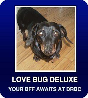 Dachshund Dog for adoption in Morrisville, Pennsylvania - Honey