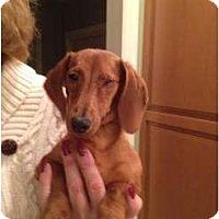 Adopt A Pet :: Molly - Killingworth, CT