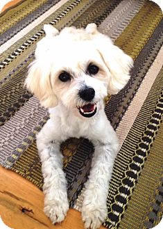 Poodle (Miniature)/Terrier (Unknown Type, Small) Mix Dog for adoption in Poway, California - CAPRI