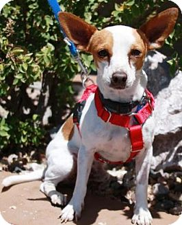Jack Russell Terrier Mix Dog for adoption in Gilbert, Arizona - Tadpole