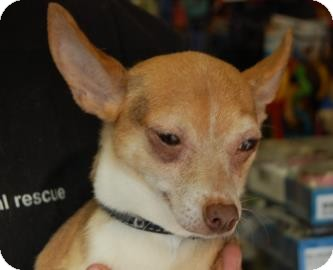 Chihuahua Mix Dog for adoption in Brooklyn, New York - Beverly Hills