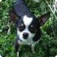 Adopt A Pet :: Prince - Shawnee Mission, KS