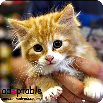 Domestic Mediumhair Kitten for adoption in Edmonton, Alberta - Khloe Katdashian