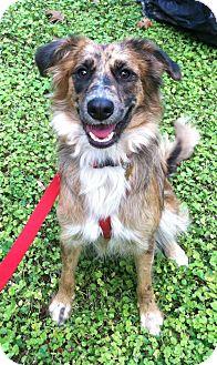Australian Shepherd/Collie Mix Dog for adoption in Baltimore, Maryland - Cricket