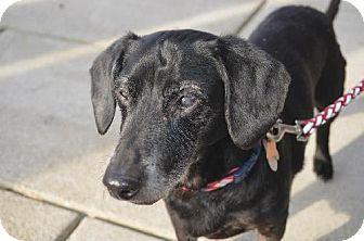 Dachshund Dog for adoption in Indianapolis, Indiana - Hugh