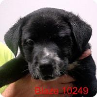 Adopt A Pet :: Blaze - Greencastle, NC