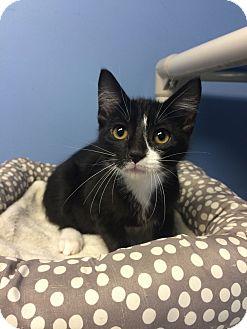 Domestic Shorthair Kitten for adoption in Germantown, Tennessee - Milkshake