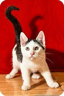 Domestic Shorthair Kitten for adoption in Athens, Georgia - Cortana