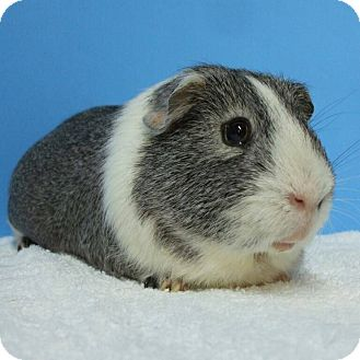 Guinea Pig for adoption in Aurora, Colorado - Scooby