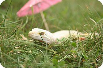 Gecko for adoption in Holbrook, Massachusetts - Astrid