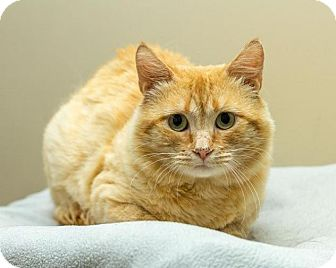 Domestic Shorthair Cat for adoption in Bellingham, Washington - Punch