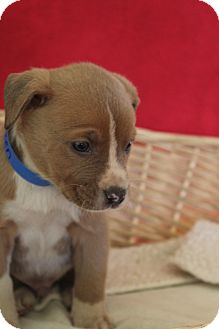 Catahoula Leopard Dog Mix Puppy for adoption in Waldorf, Maryland - Vixen