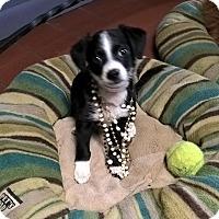 Adopt A Pet :: SHAYLEE - Mahopac, NY