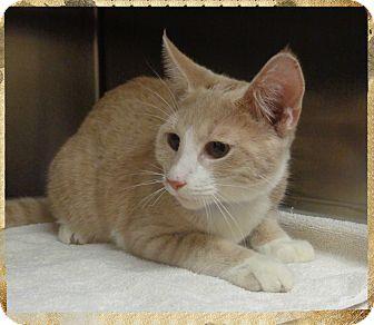 Domestic Shorthair Cat for adoption in Marietta, Georgia - RUDY