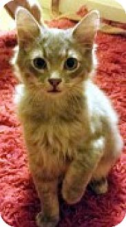 Domestic Shorthair Kitten for adoption in McHenry, Illinois - Murphy