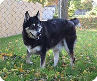 Siberian Husky Mix Dog for adoption in Shingleton, Michigan - Samson