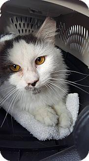 Domestic Shorthair Cat for adoption in Albemarle, North Carolina - Eagle