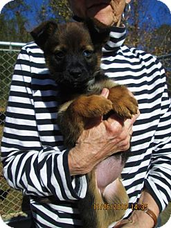 Jack Russell Terrier/Feist Mix Puppy for adoption in Rutherfordton, North Carolina - IVA NELL