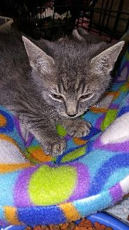 Domestic Shorthair Kitten for adoption in Raleigh, North Carolina - Rey