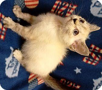 Siamese Kitten for adoption in Watauga, Texas - Polaris