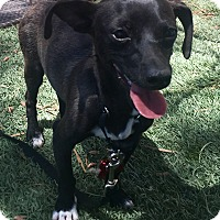 Chihuahua/Dachshund Mix Puppy for adoption in Las Vegas, Nevada - Jekyl