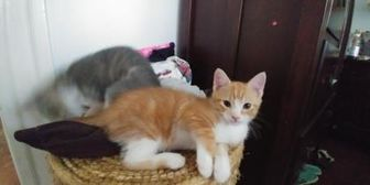 Domestic Shorthair/Domestic Shorthair Mix Cat for adoption in Baltimore, Maryland - Victorine 1