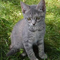 Domestic Shorthair Kitten for adoption in Morehead, Kentucky - Thea YOUNG FEMALE