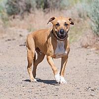 Adopt A Pet :: Banjo - Washoe Valley, NV