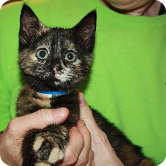 Domestic Shorthair Kitten for adoption in Richmond, Virginia - Squanchy