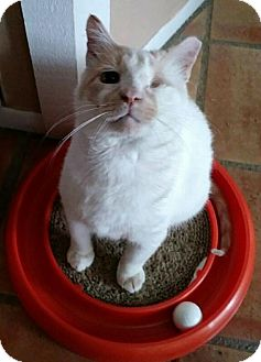 Domestic Shorthair Cat for adoption in Spring, Texas - Willie Mays