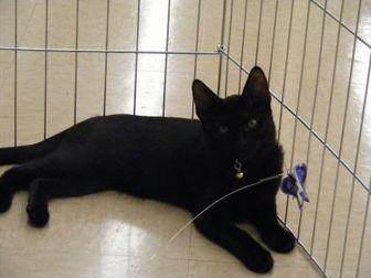 Domestic Shorthair/Domestic Shorthair Mix Cat for adoption in Morgan Hill, California - Theodore