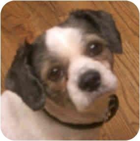Lhasa Apso Dog for adoption in Proctorville, Ohio, Ohio - Mushu