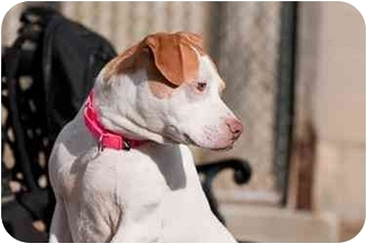Pit Bull Terrier Mix Dog for adoption in Westbrook, Maine - Daphne