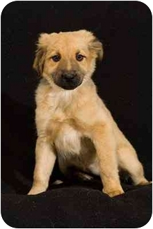 Golden Retriever/German Shepherd Dog Mix Puppy for adoption in Portland, Oregon - Ziggy