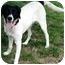 Photo 3 - Labrador Retriever/Pointer Mix Dog for adoption in Overland Park, Kansas - Bentley