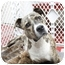 Photo 2 - American Pit Bull Terrier Mix Dog for adoption in Pittsbugh, Pennsylvania - Tiger Lily
