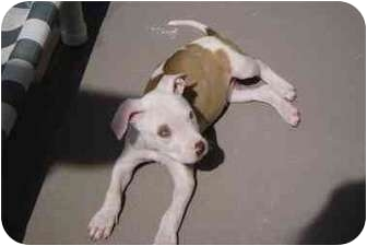 Pit Bull Terrier Mix Puppy for adoption in San Diego/North County, California - Noah