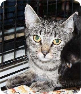 Domestic Shorthair Cat for adoption in Martinez, Georgia - Beawolf