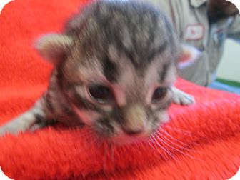 Domestic Shorthair Kitten for adoption in South Haven, Michigan - Kitten 3