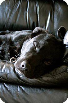 Labrador Retriever Mix Puppy for adoption in Miami, Florida - Dexter