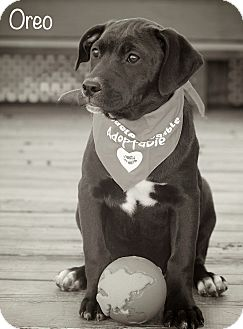 Labrador Retriever/Hound (Unknown Type) Mix Puppy for adoption in Albany, New York - OREO