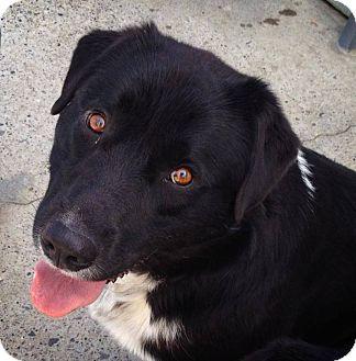 Labrador Retriever/Border Collie Mix Dog for adoption in Pincher Creek, Alberta - Cinder
