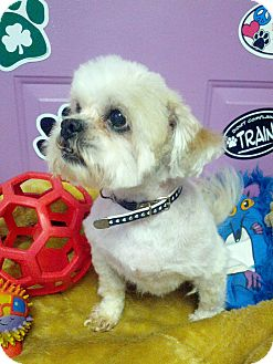 Shih Tzu Dog for adoption in Urbana, Ohio - Chrissy